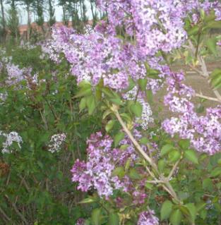 基地长期供应紫丁香苗工程绿化苗木 芳香怡人庭院观花丁香树苗