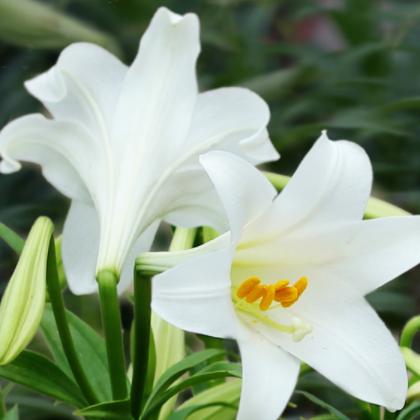 陶花仙苗木花卉 供应特价新鲜香水百合花
