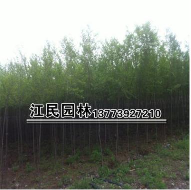 批发绿化乔木 榆树树苗批发 规格齐全 树形优美