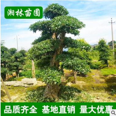 供应园林绿化苗木 椤木石楠树 造型椤木石楠 规格齐全 基地直销