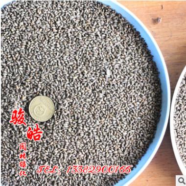 一串红种子 一串蓝种子 高杆矮杆串红串蓝种子 观花植物 易种植