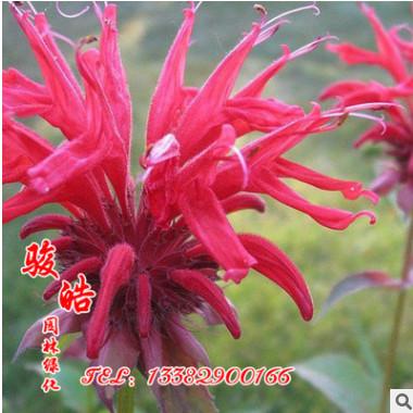 批发优质草本花卉种子 薄荷种子 观赏植物 易种植 颗粒饱满