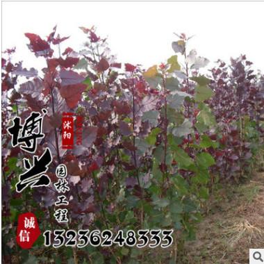 大量供应各种规格小树苗 优质红叶杨工程苗木批发 质量上乘价格优