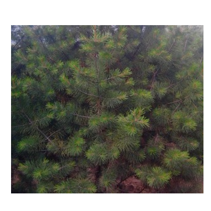 供应1米华山松苗木绿化苗木