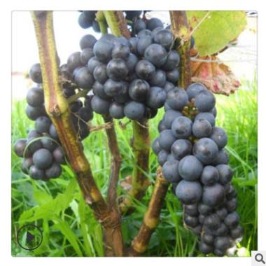 山东葡萄苗批发 可盆栽地栽南北方种植1公分-3公分规格巨峰葡萄树