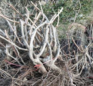 河北占地葡萄树 2公分3公分巨峰葡萄树 根系发达 早红葡萄树价格