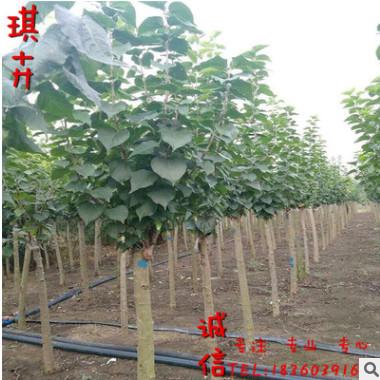 产地批发优质丁香树苗紫丁香小苗园林观赏植物 规格齐全 货源充足