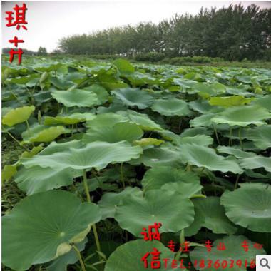优质荷花苗裸根盆装批发 河道绿化净水植物水生植物 荷花 睡莲花