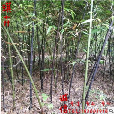 产地批发优质竹苗 青竹 紫竹 早园竹庭院 园林绿化竹子