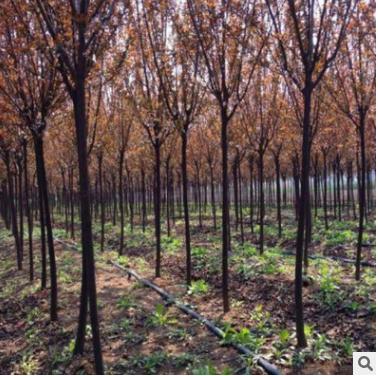 出售各种规格红叶李工程园林绿化观叶植物