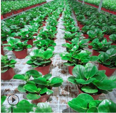 现货大量批发小型绿植盆栽小家碧玉豆瓣绿花园花卉