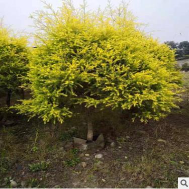 出售各种规格千层金金叶红千层黄金香柳工程园林绿化