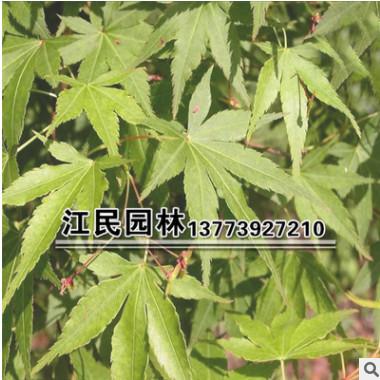 苗圃直销 青枫树苗 青枫小苗 庭院种植 量大优惠30-80高