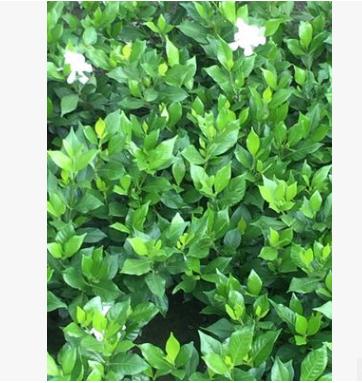 批发优质绿化苗木 专业栀子花 四季栀子出售