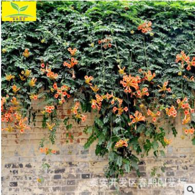 凌霄苗 山东供应0.5公分-2公分凌霄苗 攀爬藤本植物 庭院观赏植物