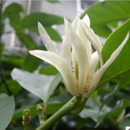 批发绿植花卉盆栽 白兰花树苗 十里飘香 香味独特 庭院绿植苗木