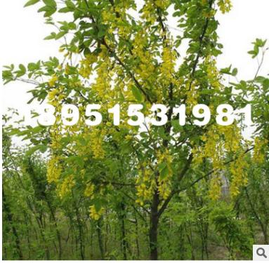 苗基地供应金雀花 黄金雀 工程绿化苗木 量大优惠