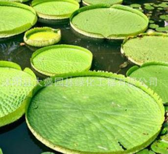 基地供应王莲 水生花卉 净化水质 优质王莲批发 量大从优 包成活