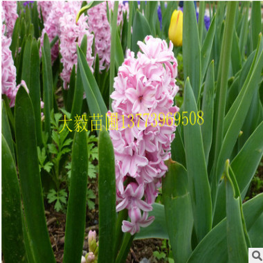 进口风信子种球 百合 盆栽内花卉绿植 水培土培很快开花