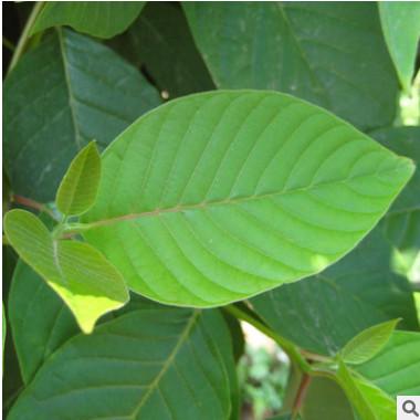 供应各种苗木 种苗 种子 基地直销 优质 喜树苗