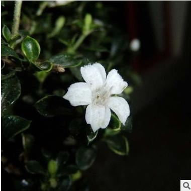 供应各种苗木 种苗 批发大量优质 六月雪