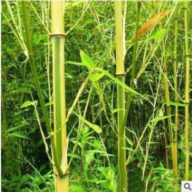 竹子基地 批发黄金竹 金香玉竹 品种齐全 价格优惠