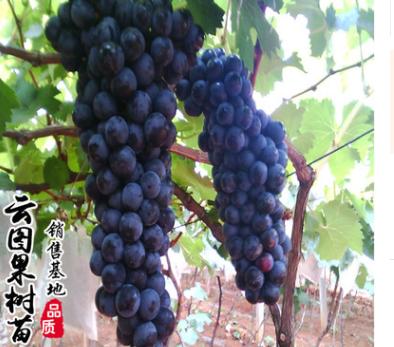 长期批发供应葡萄苗易管理挂果多葡萄苗子盆栽地栽果树苗量大从优