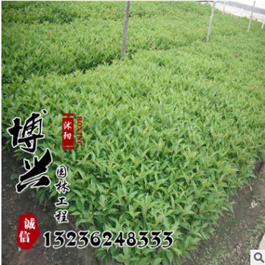 大量供应红王子锦带苗 金叶锦带 园林绿化用苗批发 量大从优
