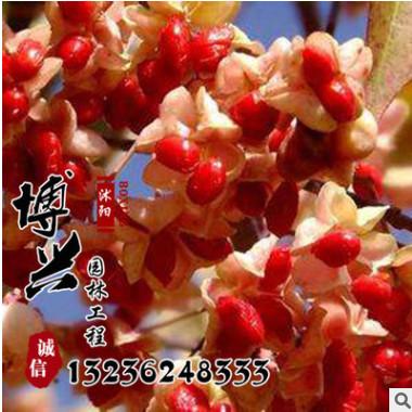 低价出售丝棉木树苗 基地供应园林工程苗木批发 风景树速生易成活