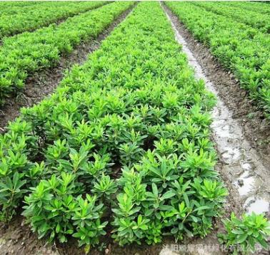 基地批发花卉毛鹃 毛杜鹃供应优质毛鹃夏鹃品种齐全