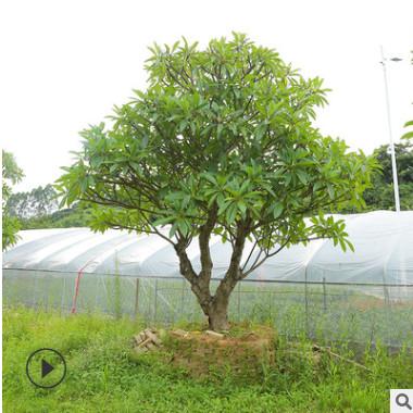 福建鸡蛋花苗木批发 园林景观绿化工程风景树 多种规格基地种植