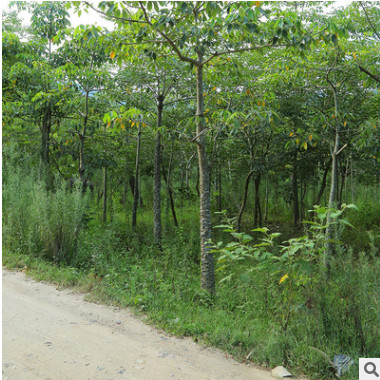 宏景园艺苗木绿植 现货批发多规格无病虫害 园林绿化景观树木棉树