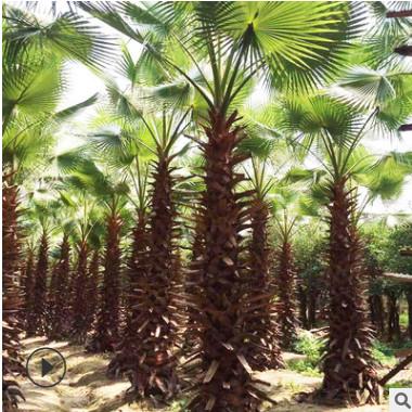 常绿乔木批发 华棕加州蒲葵华盛顿棕榈加州葵丝葵 园林绿化植物