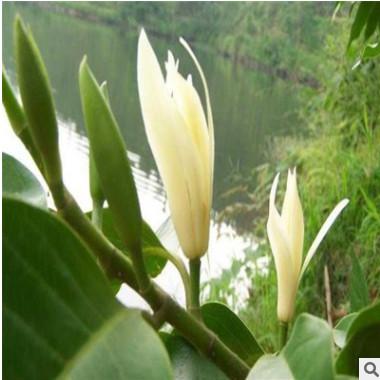 批发 花卉盆栽 白兰花 白兰花苗 香味持久 兰花苗