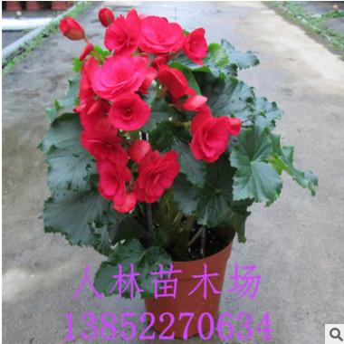 批发 盆栽花卉 玫瑰海棠 丽格海棠 盆栽 四季海棠