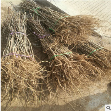 *供应占地紫藤树 爬藤植物 1公分 2 3 4 5 6公分紫藤树 造型紫藤