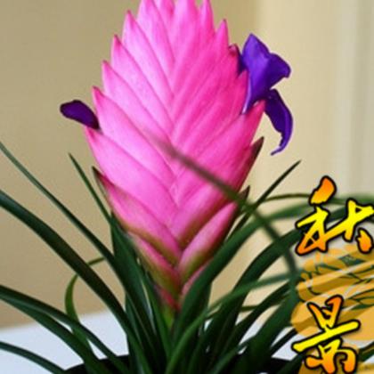 铁兰 铁兰花 进化空气 铁兰盆栽 铁扇公主 庭院 植物绿植盆栽批发