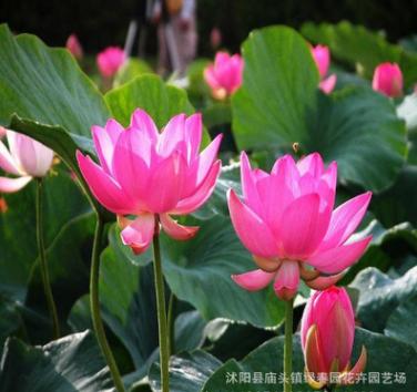 批发水生植物 碗莲 盆栽碗莲 碗莲种根种藕 颜色品种齐全