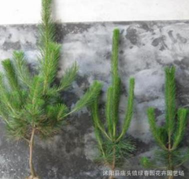 马尾松树苗 绿化苗黑松油松小苗庭院造型树木规格齐全量大从优