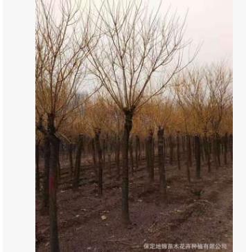 秋季直销黄金槐树苗 金枝槐5-15公分 高杆 矮杆