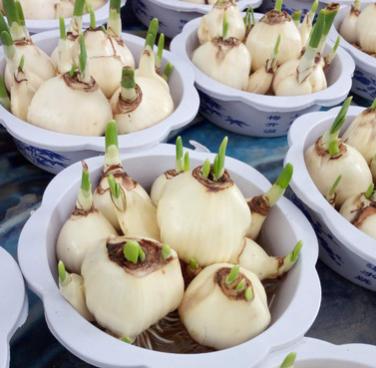 大量品批发 水仙种球 中国水仙 可土培 水培 室内办公室桌面摆放