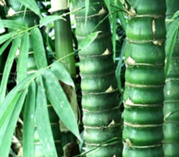 基地批发销售龟甲竹 供应优质龟甲竹苗四季常青量大从优