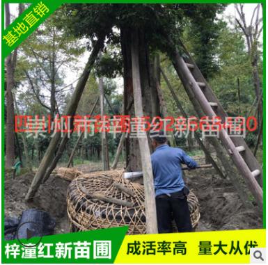 基地直销供应小叶桢楠胸径30-40 园林用途风景树