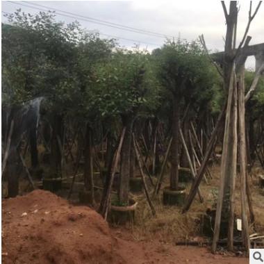鸡冠刺桐直销基地 象牙红刺桐出售 宏远园林批发各种乔木