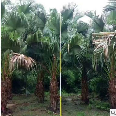 千亩蒲葵基地直销 专业的团队先进的技术 大型景观树棕榈科供应