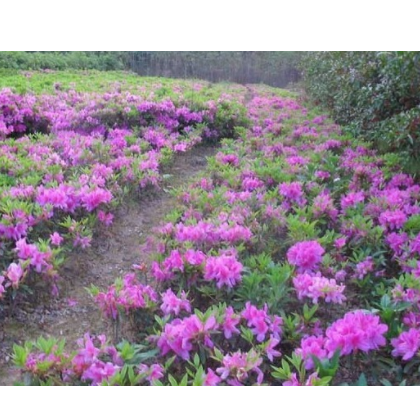 杜鹃花植物 苗木厂家 草皮供应