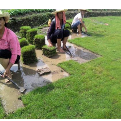 厂家直接供应 优质马尼拉草皮