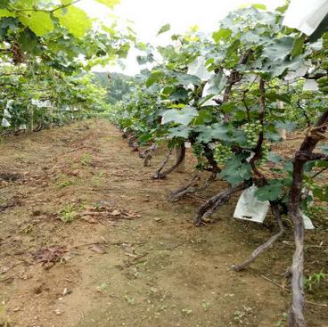 经销供应易无虫害葡萄苗 成活率高产量高葡萄苗 自产自销