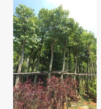 海南葡萄树,园林绿化树