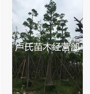 苗木现货(本地木棉)落叶乔木园林绿化行道树袋苗移植苗规格齐全